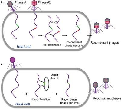 what is the advantage of genetic recombination as a mode of reproduction in bacteria?-0
