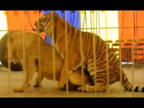 who is the real king of the jungle-4